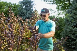 Pruning a shrub in the landscape in Green Bay