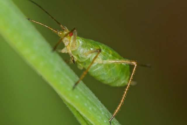 A aphid crawling on a tree leaf.