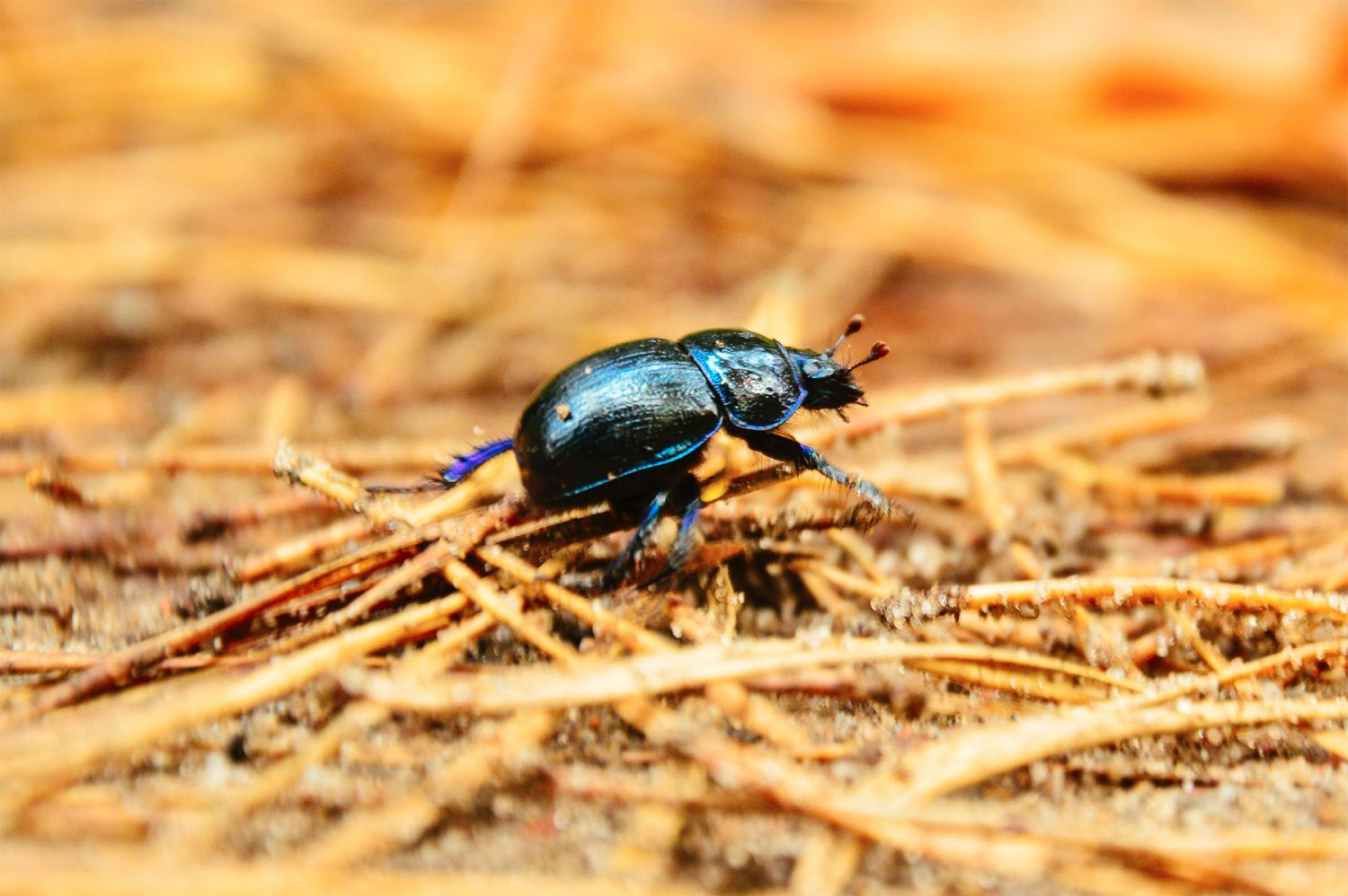 A Ground beetle walking on the ground.