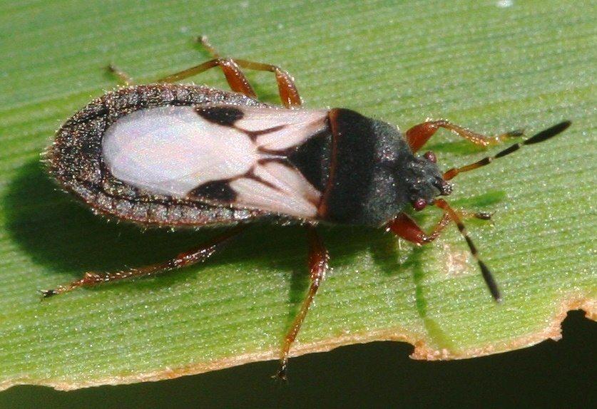 A chinch bug sits on a leaf.