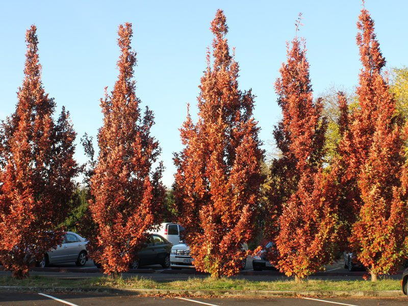 A line of Crimson Spire Oak trees, their leaves turned red for Fall, shine in the bright sunlight.