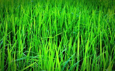 Organic Lawn Care Tips