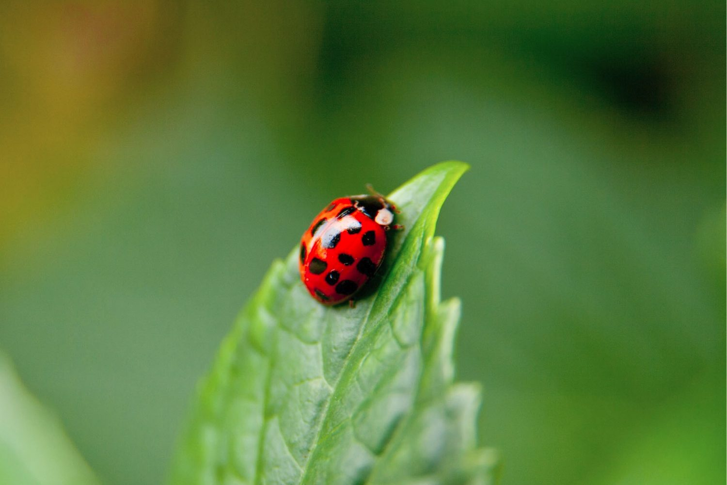 A lady bug craws to the top of a leaf.