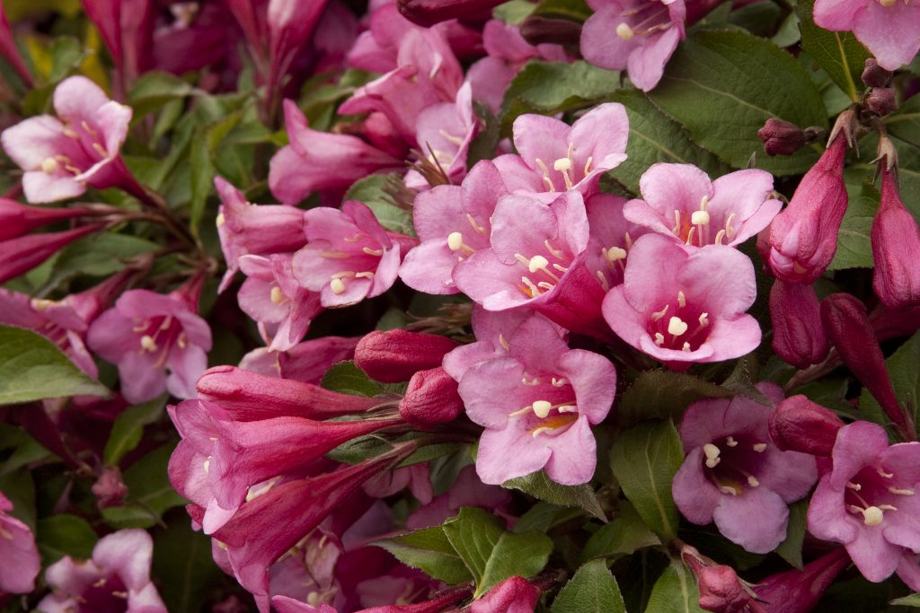 weigela flowering shrub
