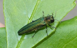 Emerald Ash Borer in Green Bay