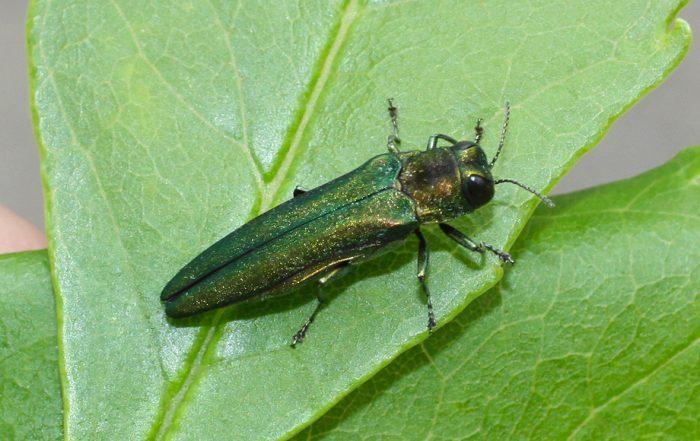 Emerald Ash Borer in Green Bay