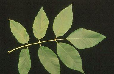 Ash Leaf Green Bay WI Appleton WI