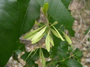 Ash Tree Seed Green Bay WI Appleton WI