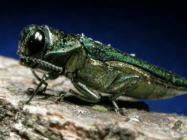 Closeup of a bug known as the Emerald Ash Borer, a Wisconsin tree pest.