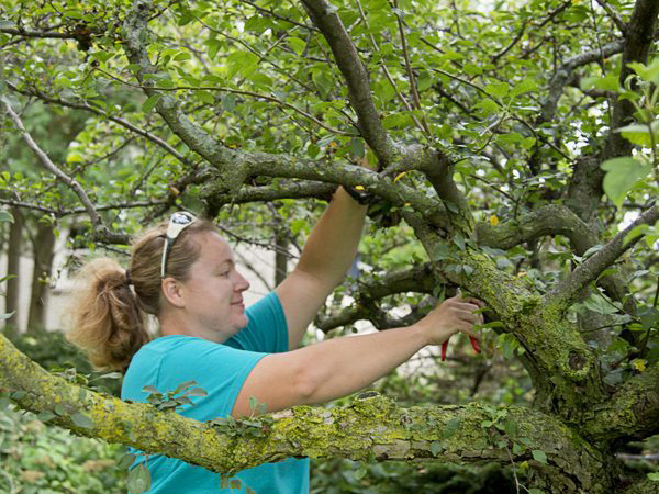 A landscape worker on a ladder pruning branches in a tree.